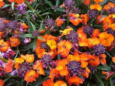 erysimum apricot twist - Google Search