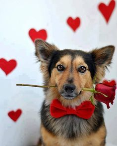So Adorable Dog with velvet red bow tie & Rose in mouth, just darling <3