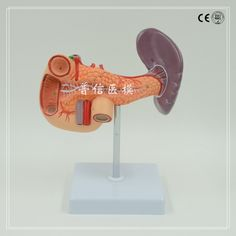 44.71$  Watch here - http://aliuc7.worldwells.pw/go.php?t=32664000223 - Human pancreas duodenum spleen Medical anatomical model