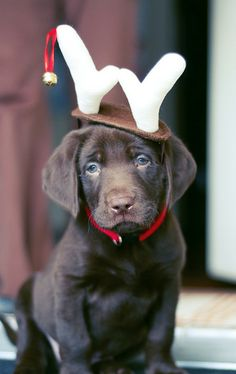 Cutest little reindeer ever / Pet Photography / Christmas / Holiday Card Idea / Prop Ideas / Lab / Labrador Retriever / Dog / For more cute puppy pics visit www.prettyfluffy.com