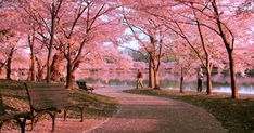 March First Japanese cherry blossom trees planted in Washington DC. Cherry Blossom Season, Cherry Blossom Tree, Blossom Trees, Cherry Tree, Sakura, Flowering Trees, Spring Break, Places To See, Beautiful Places