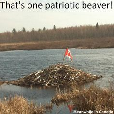 canada - that's one patriotic beaver! Canadian Memes, Canadian Things, I Am Canadian, Canadian Humour, Canada Funny, Canada 150, Canada Jokes, Ontario, Animals