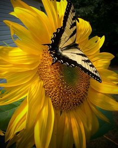 New Flowers Lotus Wallpaper 68 Ideas Lotus Wallpaper, Sunflower Wallpaper, Butterfly Wallpaper, Butterfly Art, Sunflower Pictures, Butterfly Pictures, Sunflower Garden, Sunflower Art, Sunflower Photography