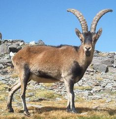 The Pyrenean Ibex- *FASCINATING: it was the first species to ever be brought back into existence via cloning, only to go extinct again just seven minutes after being born due to lung failure. The last naturally born Pyrenean Ibex, named Celia, died on January 6th, 2000, after being found dead under a fallen tree at the age of 13. That animal's only companion had died just a year earlier due to old age.