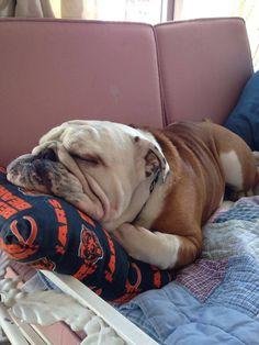 #Bulldog cutie