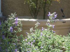 Catnip -  - 12 Mosquito Repelling Plants
