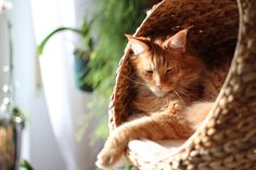 Relaxing Day by Christopher Beloch Dakota And Elle Fanning, Orange Tabby Cats, Cat Behavior, Relaxing Day, Dee Dee, Maine Coon Cats, Cat Facts, Cat Love, Kittens Cutest
