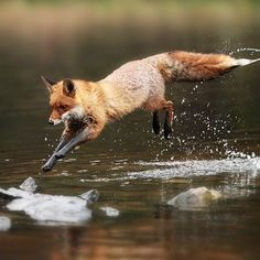 Leaping in the pond fox Nature Animals, Animals And Pets, Beautiful Creatures, Animals Beautiful, Cute Baby Animals, Funny Animals, Fox Running, Fuchs Illustration, Fox Pictures