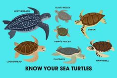 Know Your Sea Turtles by PepomintNarwhal