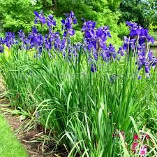 Image result for iris plant