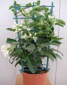 """The best known species is Stephanotis floribunda (Madagascar jasmine), which is cultivated as a tropical or hothouse ornamental, and whose flowers are a popular element in wedding bouquets. The Stephanotis has grown in popularity over the past few years along with some of the other spring flowering vines. It is known by a few different names such as """"Madagascar jasmine"""" and """"bridal veil"""". Jasmine Vine, Hothouse, Flowering Vines, Trellis, Indoor Plants, House Plants, Wedding Bouquets, Beautiful Flowers, Planter Pots"""