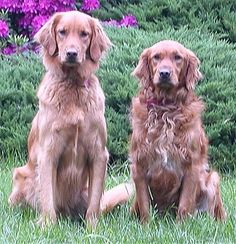 Golden Retriever Information and Pictures, Golden Retrievers