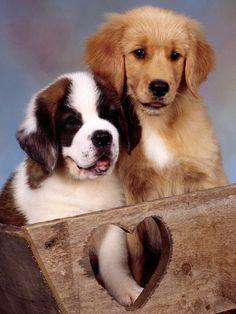 Beautiful Markings Saint Bernard Dog Puppy with a Golden Retriever Puppy - Adorable Pair of Puppy Friends
