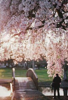 Cherry Blossoms, Westmoreland park, Portland, Oregon