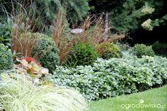 Carex buchananii pomiędzy bukszpanem. Zielone tło to zimozielona runianka (Pachysandra terminalis)