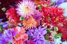 Como plantar dálias. As dálias são flores que apesar de terem uma tradição e origem mexicana, se adaptaram muito bem aos jardins brasileiros. Elas são muito queridas pela sua variedade de formas e cores e são fáceis de se...