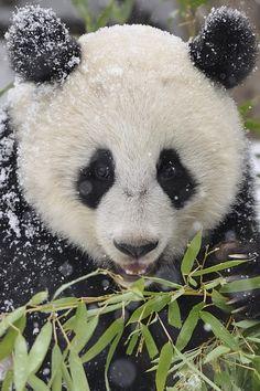 Panda Snowflakes by Josef Gelernter