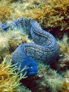 Blue Moray eel this thing looks so slimy! Blue Moray eel this thing looks so slimy! Underwater Creatures, Underwater Life, Ocean Creatures, Underwater Photos, Beautiful Sea Creatures, Animals Beautiful, Fauna Marina, Life Under The Sea, Beneath The Sea