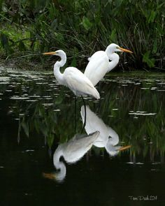Reflections... Great Egrets at Harris Neck N WR, Georgia. Photo by Tom Peek