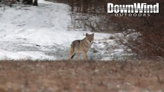 Coyote Hunting with The Distraction (DownWind Outdoors) - Eastern Coyote Hunting with The Distraction (DownWind Outdoors) - Predator Hunting, Coyote Hunting, Hunting Rifles, Archery Hunting, Hunting Videos, Hunting Stuff, Catfish Bait, Deer Hunting Blinds, Bowfishing