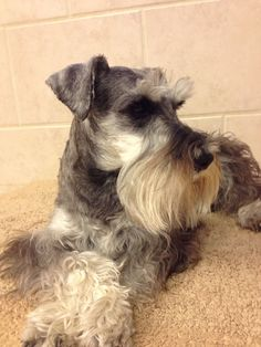 Wow!!! He is such a beautiful little mini Schnauzer✨  That's Zachary!