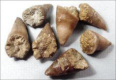 Holophora, horn coral