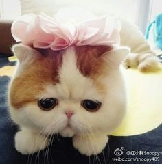No wonder he's so sad, Snoopy Cat's a boy! Still adorable though. Baby Animals, Funny Animals, Cute Animals, Pretty Animals, Persian Kittens, Cats And Kittens, Cats Meowing, Crazy Cat Lady, Crazy Cats