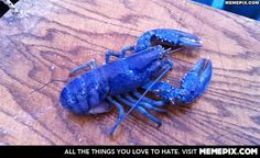 Extremely rare blue lobster caught off the coast of Nova Scotia