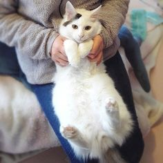 #されるがまま のうきち😸 うるめと違って爪切りも簡単♪ * * * #保護猫 #白猫 #子猫 #指吸い猫 #我が家のお笑い担当  #愛猫 #甘えた #シロクロトビ #ねこすたぐらむ #ぺこねこ部 #にゃんすたぐらむ #みんねこ #にゃんだふるらいふ  #猫のいる生活 #猫のいる暮らし #ilovecat #whitecat #pet #cat #catstagram #instacat #kitty #pentax #photo