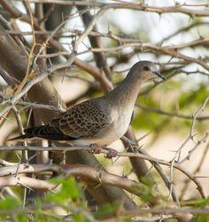Turtle dove Tourterelle des bois (Streptopelia turtur)