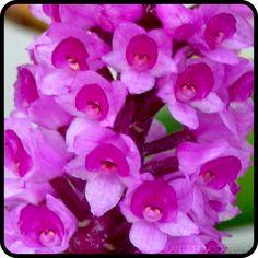 Arpophyllum spicatum floral detail