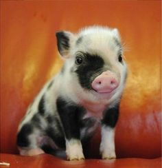 Cute Little Teacup Piglet
