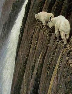 Mountain goats, how do they do it?