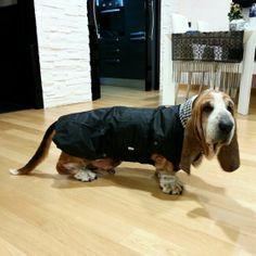 Con il cappottino nuovo! #Bassethound Dogs, Animals, Animales, Animaux, Pet Dogs, Doggies, Animal, Animais