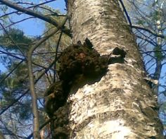 Chaga mushrooms are probably the strongest antioxidant known to man,they grow on birch trees and suck out the goodness.Chaga mushrooms are used  as a big part of Russian medicine.    www.naturesupplies.co.uk