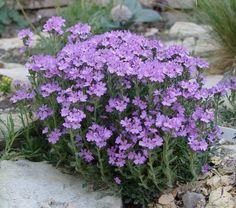 Erinus alpinus Alpine Plants, Garden Projects, Beautiful Gardens, Garden Plants, Perennials, Interior And Exterior, Grass, Flora, Mei