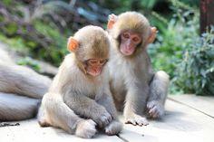 """Friendship    Snow monkey at """"Jigokudani hot-spring"""" in Nagano, Japan"""