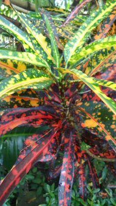 The Croton House Plant #houseplants