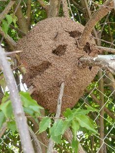 http://faaxaal.forumgratuit.ca/t3470-photo-de-termitiere-du-panama-termitieres-mound-building-termites-mound-builders