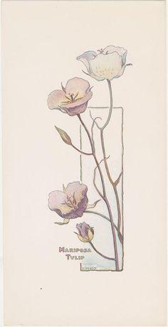 Calochortus (Liliaceae). Mariposa tulip print, Elizabeth Hallowell Saunders (1861-1910), c. 1900. Santa Barbara Botanic Garden