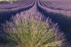 Lavendel – Lavendula officinalis – Anwendung und Wirkung – Heilkraut