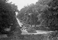 Jewish farmer irrigating a citrus grove in Rishon  Lezion (1930s) prophecy fulfilled