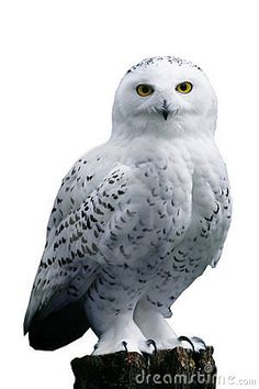 Snowy Owl Swooping Down - Includes Clipping Path Royalty Free ...