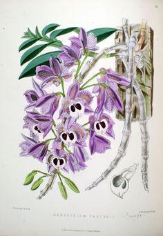 Orquídeas e como fazê-los crescer na Índia e outros climas tropicais. (1875) -Dendrobium parishii
