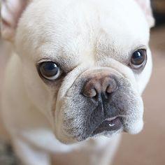 悪い顔 #フレブル #フレンチブルドッグ #buhi #ブヒ #frenchbull #frenchbulldog