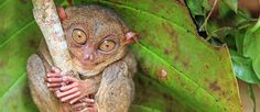 Photographic Print: Tarsier in Cebu, Philippines- Tarsius Syrichta by : Some Pictures, Animal Pictures, Stuff To Do, Things To Do, Bohol, Large Eyes, Cebu, Primates, Asia Travel
