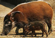 African Bush Pigs can breed any time of year and do so more often when food is aplenty. The piglets are notably handsome with more stripes and spots than adults.