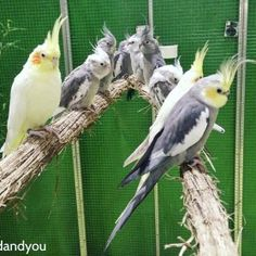 perruches calopsittes bird and you 101 compagnons
