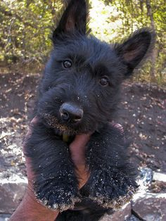 I love scotties