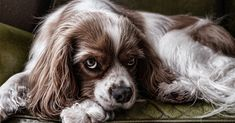 Ensure that your pets will be safe in case of emergency. Get your free ASPCA Pet Safety Pack by filling out the form. Cute Dogs Breeds, Best Dog Breeds, Small Dog Breeds, Best Dogs, Canis Lupus, Puppy Biting, Spaniel Dog, Springer Spaniel, King Charles Spaniel